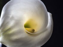 Zantedeschia aethiopica, calla lily Royalty Free Stock Photos