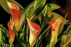 Zantedeschia aethiopica, calla lily. It is a rhizomatous herbaceous perennial plant, evergreen where rainfall and temperatures are adequate Royalty Free Stock Photography