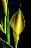 Zantedeschia aethiopica, calla lily. It is a rhizomatous herbaceous perennial plant, evergreen where rainfall and temperatures are adequate Royalty Free Stock Photos