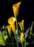 Zantedeschia aethiopica, calla lily. It is a rhizomatous herbaceous perennial plant, evergreen where rainfall and temperatures are adequate Stock Image