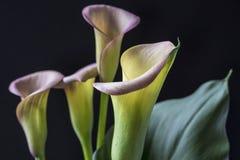 Zantedeschia aethiopica, Callalilie Stockfotos