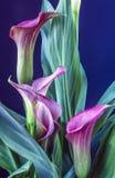 Zantedeschia aethiopica, Callalilie Lizenzfreie Stockfotografie