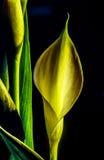 Zantedeschia aethiopica, Callalilie Lizenzfreie Stockfotos