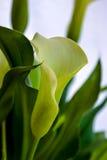 Zantedeschia aethiopica, Callalilie Stockfotografie