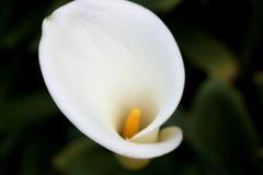Zantedeschia aethiopica, Callalilie, Aronstablilie Stockbilder