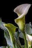 Zantedeschia aethiopica (common names calla lily Royalty Free Stock Images