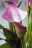 Zantedeschia aethiopica, Callalilie Stockfoto