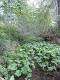 Zantedeschia Aethiopica, kalii lelui lub aron lelui rośliny R w przykopie, Fotografia Royalty Free