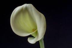 Zantedeschia aethiopica, kalii leluja Zdjęcie Stock