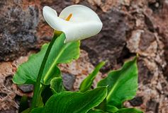 Zantedeschia aethiopica White Calla Lily Royalty Free Stock Images