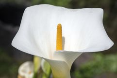 Zantedeschia aethiopica white flowers in bloom, beautiful ornamental flowering plant royalty free stock photography