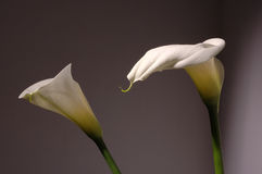 Zantedeschia blanc Photo stock