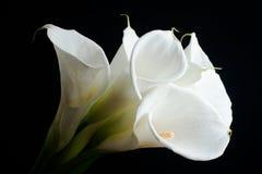 Zantedeschia blanc Images libres de droits