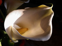 Zantedeschia blanc image libre de droits