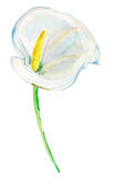 Zantedeschia blanc d'isolement sur un fond blanc Peinture d'aquarelle Photos libres de droits