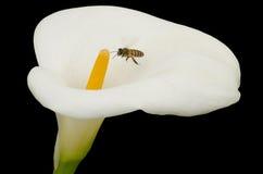 Zantedeschia blanc et abeille d'isolement sur le noir photographie stock