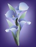 Zantedeschia bleu Photos stock