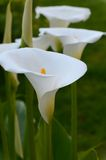 Zantedeschia-Calla Royalty Free Stock Images