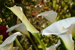 Zantedeschia-Calla Stock Photo