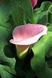Zantedeschia Royalty Free Stock Photo