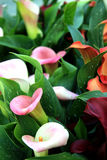 Zantedeschia Royalty Free Stock Photos