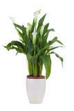 Zantedeschia dans un pot Photographie stock