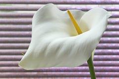 Zantedeschia för blomma för Callalilja på purpurfärgad bakgrund arkivbild