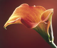Zantedeschia flower. A single zantedeschia tropical flower Royalty Free Stock Image