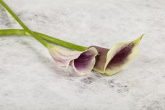 Zantedeschia flower. On textured background Stock Photography