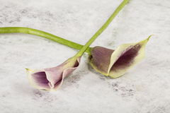 Zantedeschia flower. On textured background Royalty Free Stock Image