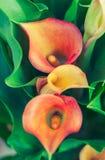 Zantedeschia orange Photos stock