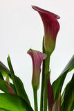 Zantedeschia Rehmanii Fotografia Stock Libera da Diritti
