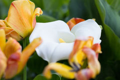 Zantedeschia and Tulips. In the Garden Stock Image