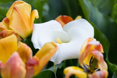 Zantedeschia and Tulips. In the Garden Royalty Free Stock Photos