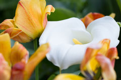 Zantedeschia and Tulips. In the Garden Royalty Free Stock Image