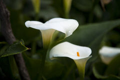 Zanthedetia or Arum is a flower that is often used on religious occasions Stock Photography