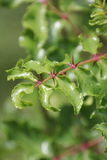 Zanthoxylum clava-herculis (φύλλο και σπονδυλικές στήλες) Στοκ Φωτογραφίες
