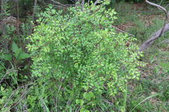 Zanthoxylum clava-herculis (complete plant). Zanthoxylum clava-herculis, Hercules' club, pepperwood, or southern prickly ash, is a spiny tree or shrub native to Stock Photos