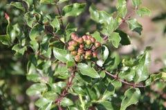 Zanthoxylum clava-herculis (liść i kręgosłupy) Zdjęcia Royalty Free