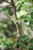 Zanthoxylumclava-herculis (bladet och ryggar) Arkivbild