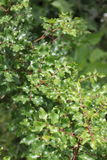 Zanthoxylumclava-herculis (bladet och ryggar) Arkivfoton