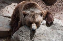 Zanudzający brown niedźwiedź w zoo Obraz Royalty Free