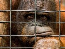 Zanudzający orangutan w więzieniu Zdjęcie Royalty Free