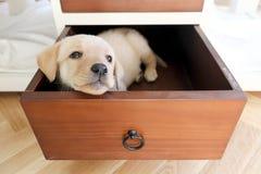 zanudzający pies w kreślarzie Fotografia Stock