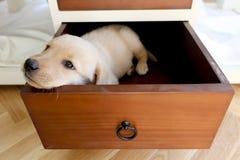 zanudzający pies w kreślarzie Obraz Royalty Free