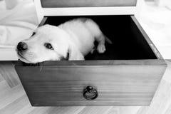 zanudzający pies w kreślarzie Obrazy Royalty Free
