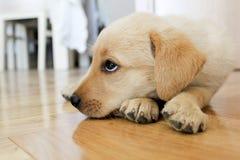 Zanudzający golden retriever szczeniaka pies Zdjęcia Royalty Free