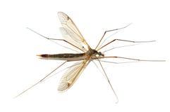 Zanzara Immagini Stock Libere da Diritti