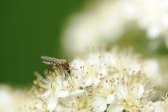 zanzara Fotografia Stock Libera da Diritti