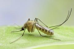 zanzara Immagine Stock